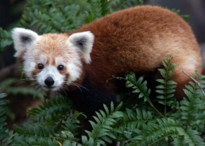 Smithsonian's National Zoo - The National Zoo is looking for Rusty, a red panda last seen about 6 p.m. Sunday.