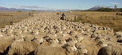 Ovejas en la Patagonia argentina.