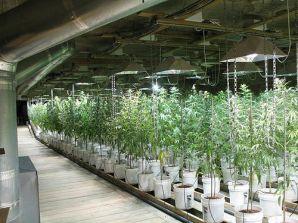 Marihuana es un negocio multimillonario.